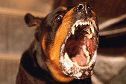Rabid Dog   theneedleblog Raccoon With Rabies Foaming